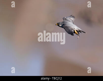 Peregrine Falcon (Falco peregrinus) returning to nest with prey for it's young, Avon Gorge, Bristol - Stock Image