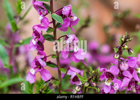 Closeup of purple flowers, Angelonia serena, in a garden. USA. - Stock Image
