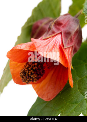 Close up of the orange bell flower of the half hardy, lax growing shrub, Abutilon 'Patrick Synge', on a white background - Stock Image