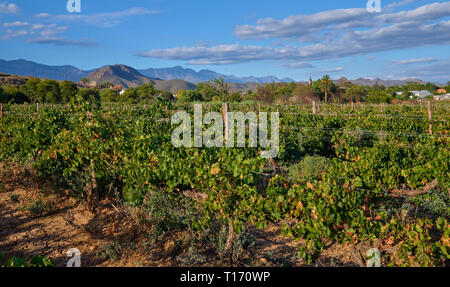 Vineyard seen from street with Swarzberg mountaing range and village of Calitzdorp in background in late afternoon sun - Stock Image
