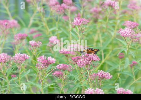 Monarch butterfly Danaus plexippus feeding on swamp milkweed flowers - Stock Image