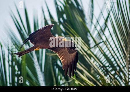 A hawk in flight in Yele, Sierra Leone. - Stock Image