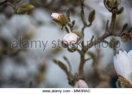 Magnolia, Royal Star, is from Japan, has pink buds which transform to big white flowers. It can last outside in winter, in Sweden. - Stock Image