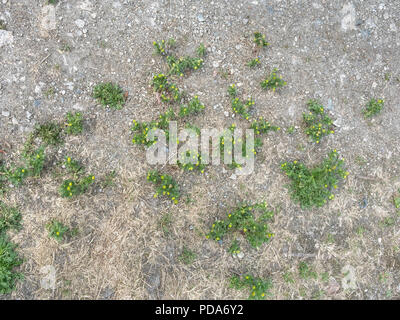 Overhead shot of Pineapple Weed [Matricaria matricariodes] growing in bare dry ground. The plant smells and tastes of Pineapple. - Stock Image