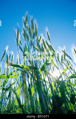 Wheat growing close up - Stock Image