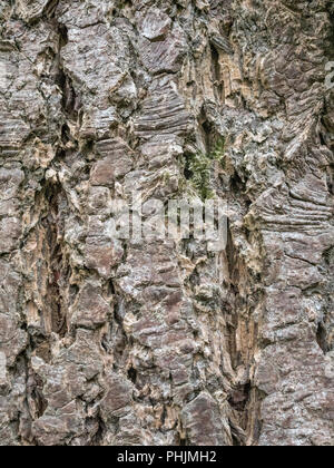 Close up of bark of a conifer (possibly Larch) with scars of removed Ivy {Hedera helix] tendrils leaving their marks in the soft bark. - Stock Image
