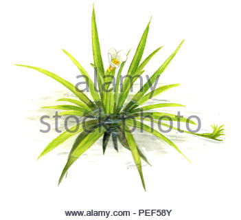 cancer scissors stratiotes aloides - Stock Image