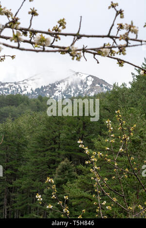 White blossom of sour cherry in greek mountains in spring, floral background - Stock Image