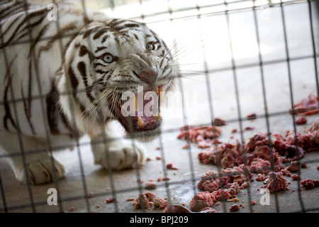 A white Bengal tiger protects its meal during feeding time at Turpentine Creek Wildlife Refuge in Eureka Springs, - Stock Image