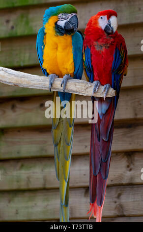 Macaw scarlet and blue-and-yellow parrots, long-tailed colorful exotic birds close up - Stock Image