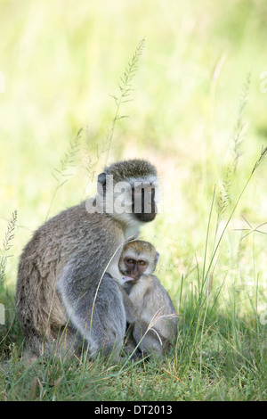 Vervet monkey (Chlorocebus pygerythrus), mother and suckling child - Stock Image