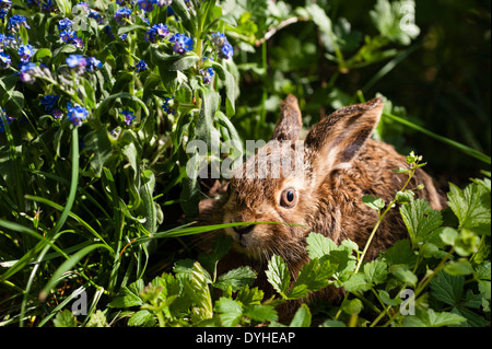 Feldhase, Brown Hare, Lepus europaeus, European Hare, leveret sitting in gras with flowers - Stock Image