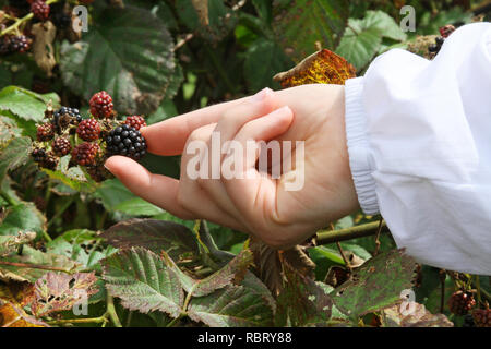 Close up of a young woman's hand picking ripe mountain blackberries in summertime - Stock Image