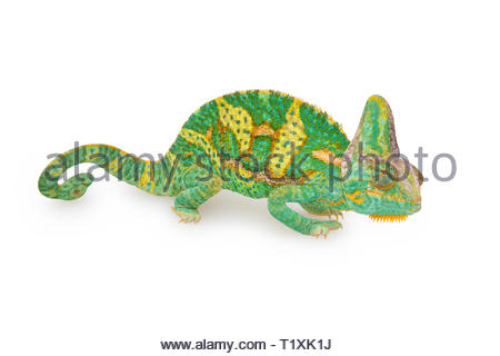 close view of a beautiful  green colorful  chamaeleo calyptratus with his spiral tail. Species also called veiled, cone-head or yemen chameleon. - Stock Image