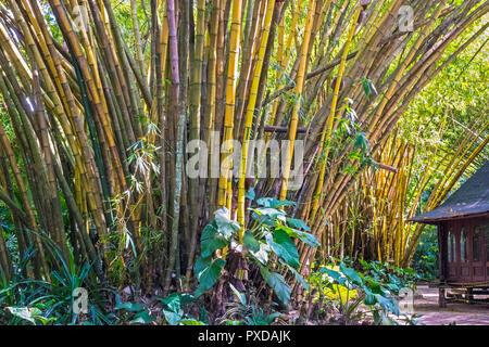 Painted Bamboo (bambusa vulgaris vittate) Belem Brazil - Stock Image