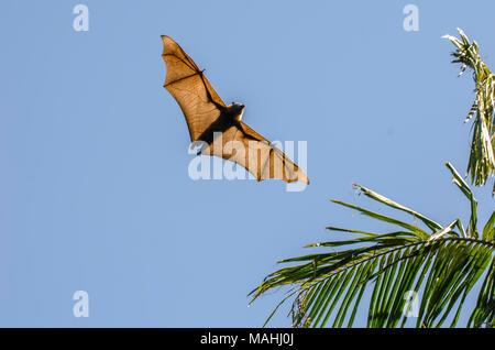 The grey-headed flying fox is a megabat native to Australia. - Stock Image