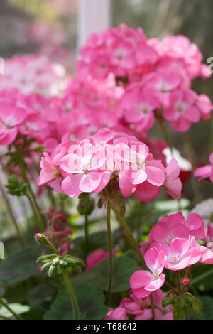 Pelargoniums flowering in the greenhouse in Spring. - Stock Image