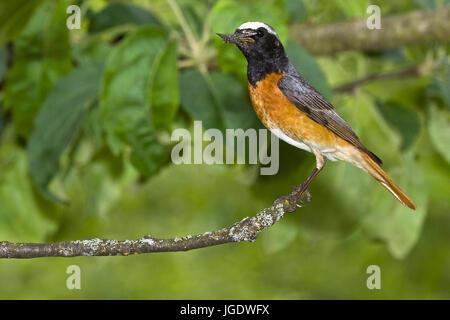 Garden red tail, Phoenicurus phoenicurus little man, Gartenrotschwanz (Phoenicurus phoenicurus) Männchen - Stock Image