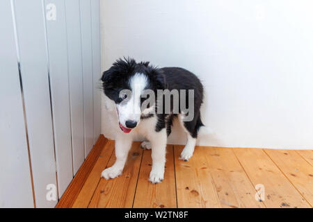 Funny portrait of cute smilling puppy dog border collie indoor. New lovely member of family little dog at home gazing and waiting. Pet care and animal - Stock Image