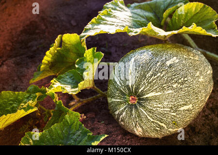 Home Grown Organic Pumpkin on vegetable garden. The green juicy ripening pumpkin on the kitchen garden. Center - Stock Image