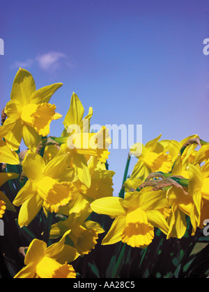 Daffodils against a blue sky Norfolk England - Stock Image