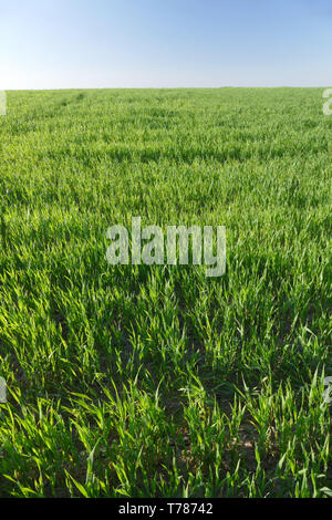 Young green wheat, wheat. Closeup. Agriculture, food, bread. - Stock Image