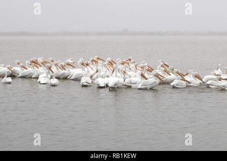 A flock of white american pelicans floating in the water on a cold winter day - Stock Image