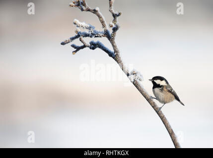 Coal Tit, Periparus ater, perching on a snowy twig against a totally defocussed wintry background with plenty of copy space. - Stock Image