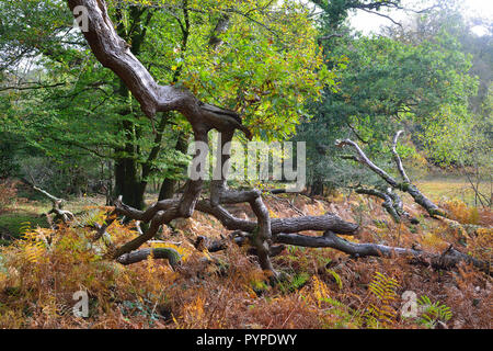 woodland scene of ancient oaks and beech trees ,living and fallen in the new forest - Stock Image