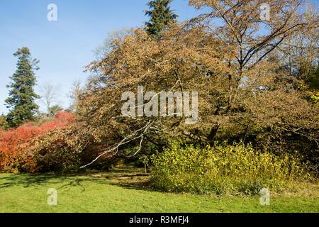 Hop hornbeam tree, Ostrya carpinifolia, National arboretum, Westonbirt arboretum, Gloucestershire, England, UK - Stock Image