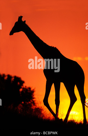 AFRICAN GIRAFFE AT SUNSET - Stock Image