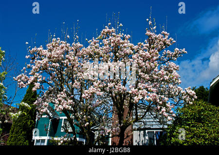 Magnolia blossoms in spring time bloom - Stock Image