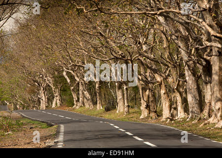 Mauritius, Le Morne, gnarled trees overhanging coast road - Stock Image