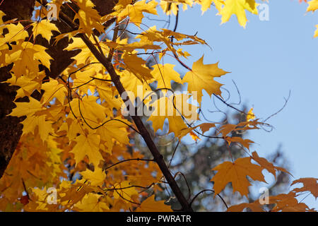 Close-up of backlit yellow maple leaves in the fall - Stock Image