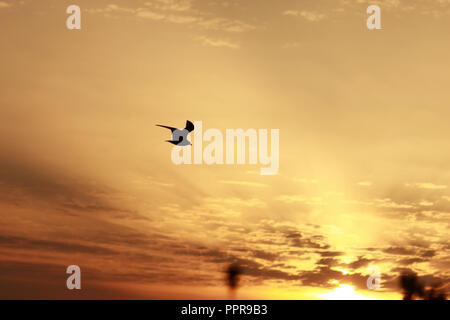 Silhouette of bird flying in the sunset sky, Weymouth. - Stock Image