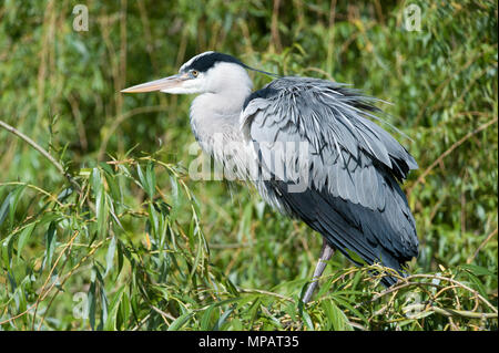 adult Grey Heron, (Ardea cinerea), preening and shaking out feathers, London, United Kingdom, British Isles - Stock Image