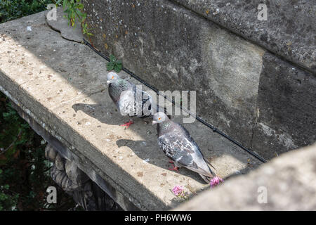A pair of feral pigeons (rock doves Columba livia domestica) on a ledge of the stairwell of the North Parade bridge in the city of Bath - Stock Image
