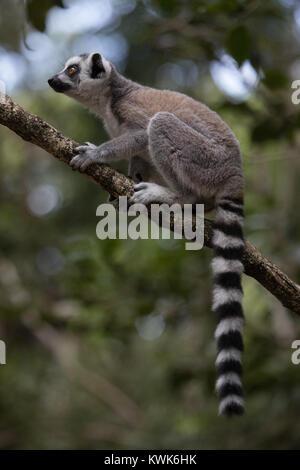 Full body Madagascar ring-tailed lemur (Lemur catta) from the Monkeyland Sanctuary in Plettenberg Bay, South Africa. - Stock Image