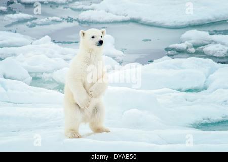Cute Polar Bear Cub, Ursus maritimus, standing up on the Olgastretet Pack Ice, Svalbard Archipelago, Norway - Stock Image