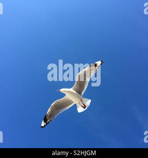 Seagull in flight against a blue sky - Stock Image