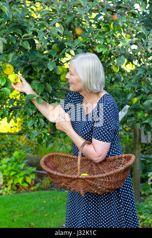 Senior lady in a blue polka-dotted dress and a basket on her arm picking ripe apples of a tree in her garden yard, - Stock Image