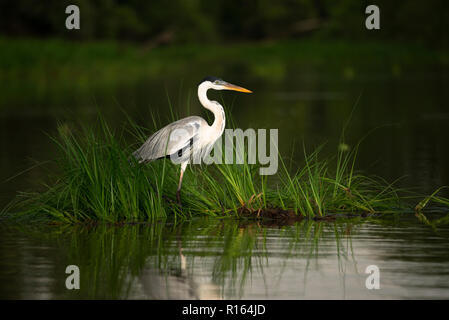 A Cocoi Heron (Ardea cocoi) sitting on a mat of floating vegetation in the Pantanal, Brazil - Stock Image