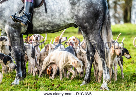 Roberton, Hawick, Scottish Borders, UK. 10th November 2018. The Duke of Buccleuch foxhounds flush foxes to guns in the Hawick hills. The areas economy - Stock Image