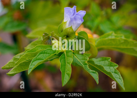 Nicandra Physalodes (Solanaceae) - Shoo Fly Plant Flower also known as the Apple-of-Peru Flower, (Peru). - Stock Image