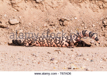Gila Monster,  Heloderma suspectum, defecating in Arizona USA - Stock Image