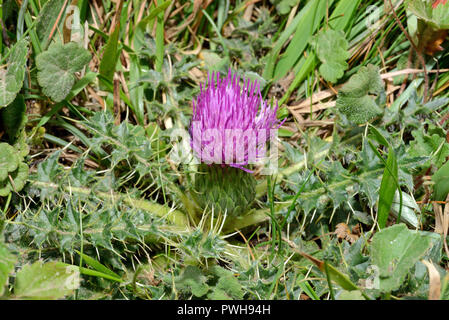 Cirsium acaule (stemless thistle) is widespread across Europe and typically occurs in calcareous grasslands. - Stock Image