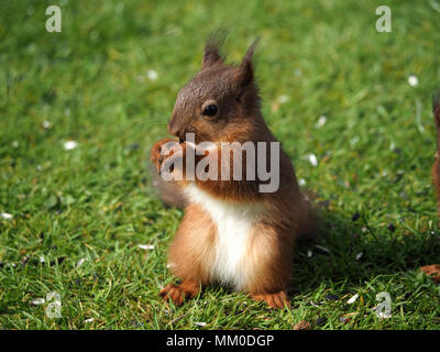 Crosby Ravensworth, Cumbria UK. 9th May 2018. A native Red Squirrel (Sciurus vulgaris) kit helps itself to birdfood in a Cumbrian Garden Credit: Steve Holroyd/Alamy Live News - Stock Image