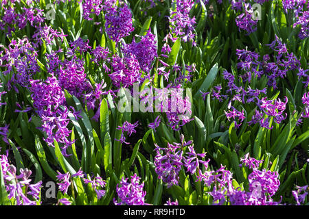 Purple Hyacinthus, Species orientalis, Hyacinth. Attractive spring bulbous flowers. Highly fragrant however the bulbs contain a poison called oxalic a - Stock Image