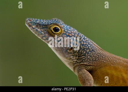 Graham's Anole (Anolis grahami) close up of adult  Marshall's Pen, Jamaica            November - Stock Image