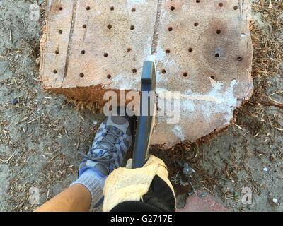 Female drills holes into a palm tree stump, fills holes with salt, then chops with a hand ax. - Stock Image